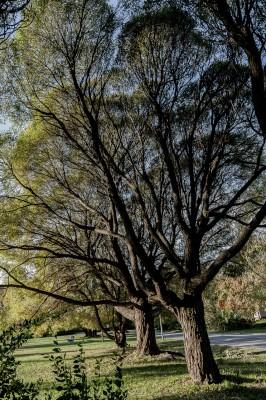 Kaksi vanhaa puuta